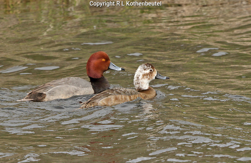 A pair of redhead ducks swim in a canal. The female is partially leucistic, display many white feathers on her head.<br /> Lower Klamath Lake<br /> Klamath Basin National Wildlife Refuges, California<br /> 3/31/2015