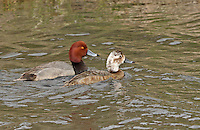 A pair of redhead ducks swim in a canal. The female is partially leucistic, display many white feathers on her head.<br />