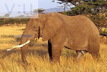 African Elephant ,Loxodonta africana, Masai Mara Game Reserve, Kenya