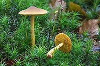 Gelbblättriger Hautkopf, Gelbblättriger Zimt-Hautkopf, Safranblättriger Hautkopf, Cortinarius croceus, Cortinarius cinnamomeolutescens, Cortinarius cinnamomeobadius, Saffron Webcap mushroom, Saffron Webcap