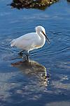 Snowy egret in Santa Barbara