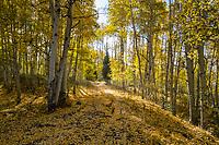 Fallen aspen leaves coat a dirt road in Rio Blanco County, Colorado.