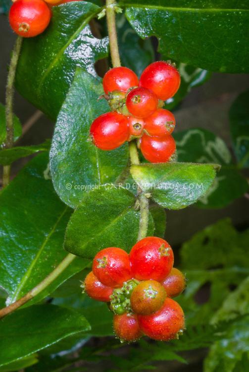 Lonicera periclymenum 'Scentsation' vine red berries fruit