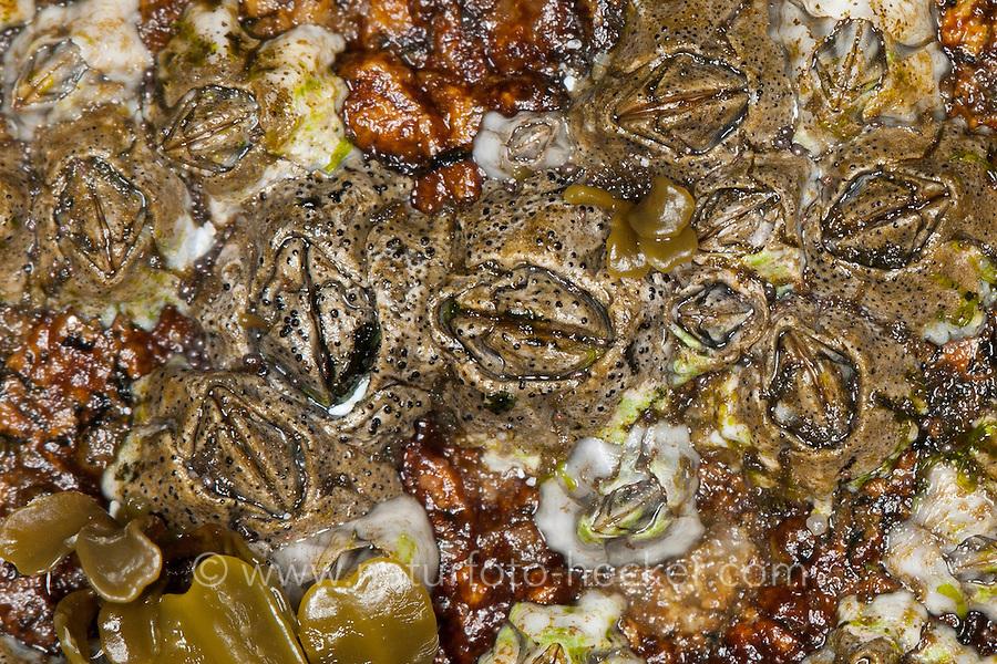 Gehäuseflechte, Gehäuse-Flechte, Flechte auf Gehäuse von Seepocke, Seepocken, Arthopyrenia halodytes, Pyrenocollema halodytes, Collemopsidium halodytes, Verrucaria halodytes