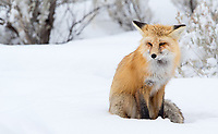 Foxes are a welcome sight in winter, usually sporting a bright poofy orange coat.