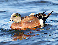 Adult male American widgeon