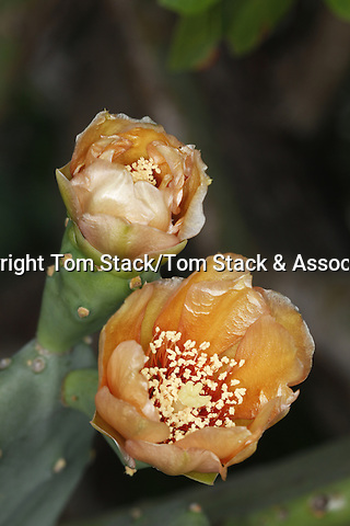 Blooming flower of the Prickly Pear cactus, Opuntia sp., Everglades National Park, Florida