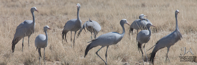 Flock of South African blue cranes , the national bird of South Africa in Etosha National Park, Namibia