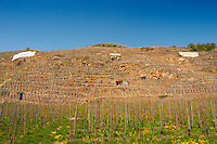 Amphitheatre of vines with signs saying E Guigal, De Boisseyt, M Chapoutier. Terraced vineyards in the Cote Rotie district around Ampuis in northern Rhone planted with the Syrah grape. Ampuis, Cote Rotie, Rhone, France, Europe