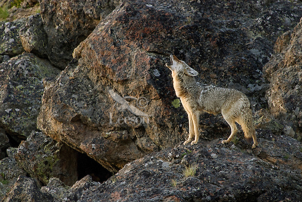 Wild Coyote (Canis latrans) howling.  Western U.S., late evening.