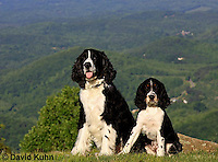 0730-0826  Puppy and Adult English Springer Spaniels, Canis lupus familiaris © David Kuhn/Dwight Kuhn Photography.
