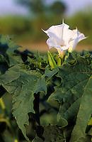 Gewöhnlicher Weißer Stechapfel, Stech-Apfel, Datura stramonium, Thorn Apple, Thornapple