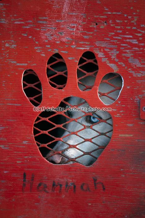 P.Solmonson's Dog *Hannah* in Dog Box at Start.Iditarod 2004 Anchorage