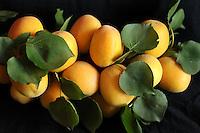 Michael McCollum<br /> 7/2/08<br /> Apricots, Patterson California