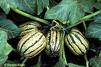 HS36-013d   Winter Squash - Sugarloaf variety