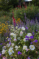 Oenothera pallida (White Evening Primrose) in bee-friendly pollinator garden with Layia, Penstemon, and Nepeta;  Kate Frey mixed border Garden