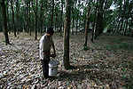 At first light, Tin Tin's family collects the rubber tree sap in large tubs.<br />