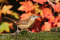 Carolina Wren (Thryothorus ludovicianus),  adult on mossy log and autumn leaves of Bigtooth Maple (Acer grandidentatum), Hill Country, Central Texas, USA