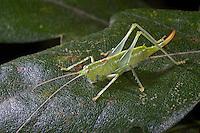 Südliche Eichenschrecke, Weibchen, Meconema meridionale, Southern oak bush-cricket, Southern oak bush cricket, female, Tettigoniidae