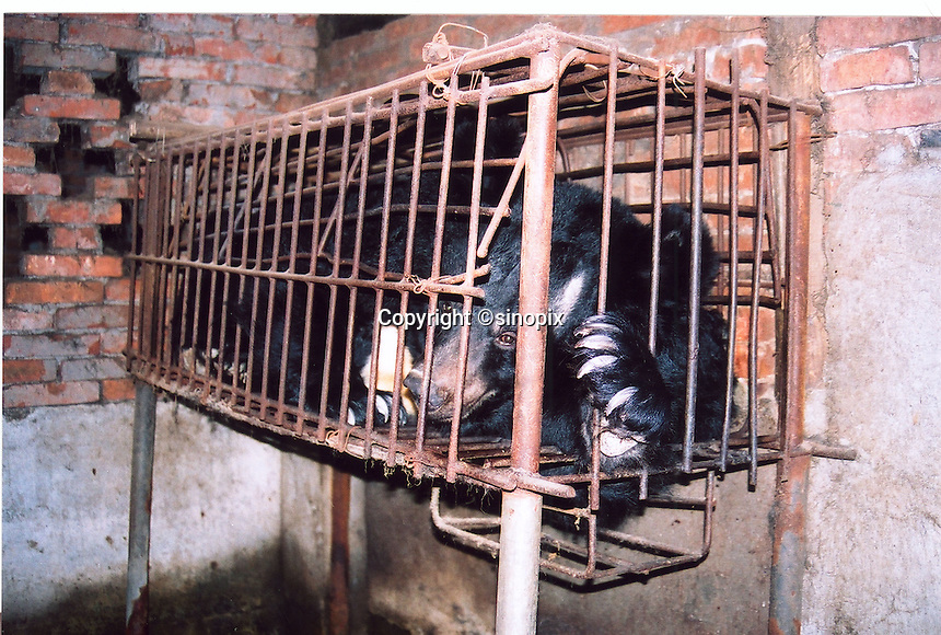 "Bear was found in the Bear Farm in Chengdu, Sichuan, China. The rescue was conducted by Animals Asia Foundation. The foundation rescued 28 ""moon"" bears from horrendous bea-bile farms in the area. Animals Asia is run and founded by UK national Jill Robinson, M.B.E."
