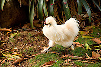 A Silkie (or Silky) runs on a farm on the North Shore, O'ahu.