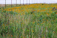Nature Conservancy, flowering Tallgrass Prairie Preserve, Oklahoma in early summer