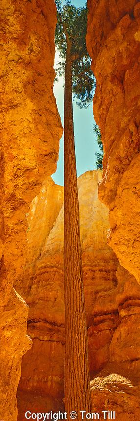 Douglas Fir Tree in Summer Afternoon Light, Bryce Canyon National Park, Utah   Wall Street interior
