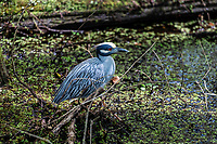 Yellow Crowned Night Heron at the Corkscrew Swamp Sancutuary.