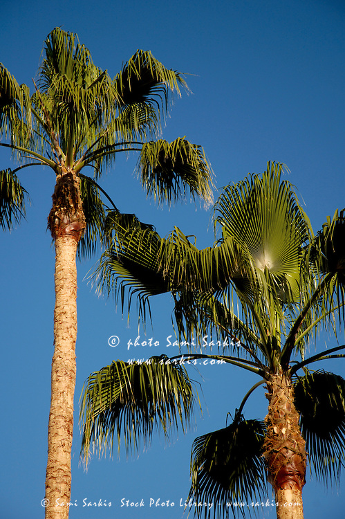 Two palm trees in springtime, Seville, Andalusia, Spain.