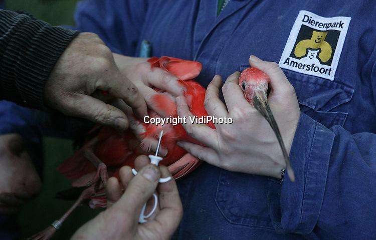 Foto: VidiPhoto..AMERSFOORT - In Dierenpark Amersfoort zijn donderdag ruim 500 vogels ingeënt tegen de vogelgriep. Dankzij eerdere entingen voorgaande jaren, hoeft dat nu nog maar eenmaal per jaar te gebeuren. Een deel van de vogels kreeg bovendien tevens een chip ingespoten, waarin hun gegevens zijn vastgelegd. Foto: Enten van een rode ibis.