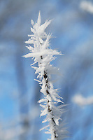 Hoar Frost Closeup on Branch