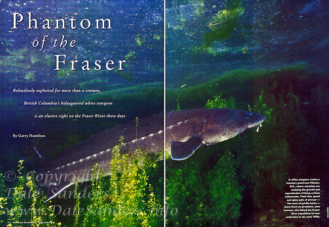 "Inside Two Page Spread for Canadian Geographic Magazine's ""Phantom of the Fraser"" Sturgeon Article."