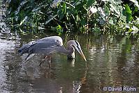 0111-0906  Great Blue Heron Hunting for Prey Striking Water, Ardea herodias © David Kuhn/Dwight Kuhn Photography