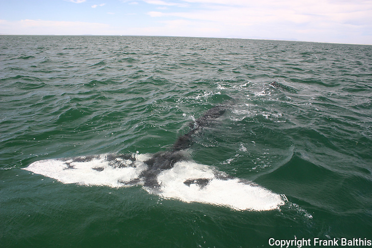 Tail flukes of gray whale