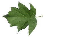 Elsbeere, Elzbeere, Sorbus torminalis, Wild Service Tree, Alisier torminal. Blatt, Blätter, leaf, leaves
