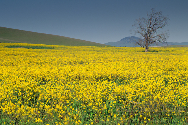 Field of wild mustrad bloom in spring, Tassajara Hills, Contra Costa County, CALIFORNIA