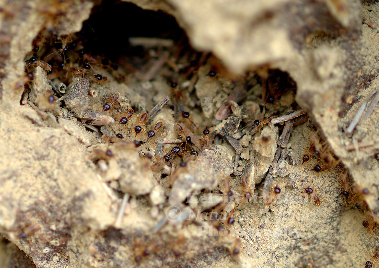 The interior of a Spinifex Termite nest , showing the soldiers hard at work.