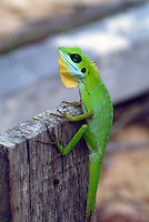 Green Crested Lizard - (Bronchocela cristatella) is an agamid lizard found in Southeast Asia: Malaysia (West Malaysia and Borneo), Singapore, Indonesia , Philippines (Palawan, Calamian Islands, Panay, Luzon), South Thailand, South Myanmar (Tenasserim), and India (Nicobar Islands).