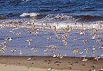 Willets (catoptrophorus semipalmatus) pausing during migration at an Asbury Park beach.  Willets are large shorebirds common along the New Jersey coast, flashy when flying.