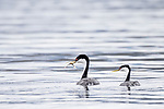 Lake Hodges, Escondido, San Diego, California; a pair of Western Grebe (Aechmophorus occidentalis), with breeding plumage, exchanging a fish as part of a courtship behavior