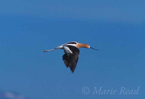 American Avocet (Recurvirostra americana) adult in breeding plumage, in flight, California, USA<br /> Slide # B54-301