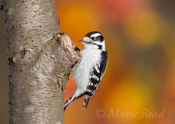 Downy Woodpecker (Picoides pubescens) male, New York, USA