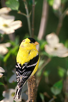 Male goldfinch, Spinus tristis, in breeding colors stands proudly on stick among dogwood flowers