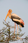 Painted Stork, Mycteria leucocephala, Keoladeo Ghana National Park, Rajasthan, India, formerly known as the Bharatpur Bird Sanctuary, UNESCO World Heritage Site.India....