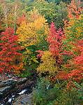 Acadia National Park, ME<br /> Fall colored sugar maples (Acer sacchrum) and yellow birch (Betula alleghaniensis) in forest above Duck Brook