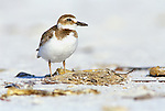 Wilson's Plover, Ft. Myers Beach, FL, USA