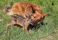 Rehkitz, Reh-Kitz, verwaistes, in Menschenhand gepflegtes, zahmes Jungtier spielt mit Hund, Kitz, Tierkind, Tierbaby, Tierbabies, Europäisches Reh, Ricke, Weibchen, Capreolus capreolus, Roe Deer, Chevreuil