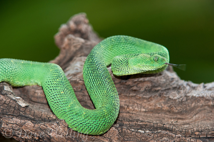 489590014 a captive bluish-green coloration west african bush viper atheris chlorechis sits coiled on a limb