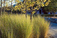 Spartina bakeri (sand cordgrass) tall grass meadow back-lit next to dirt path in Southern California garden with Sycamore trees in autumn