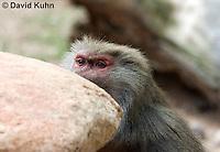 0719-1106  Female Hamadryas Baboon, Papio hamadryas  © David Kuhn/Dwight Kuhn Photography.